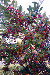 Red Chokeberry (Aronia arbutifolia) at Hicks Nurseries