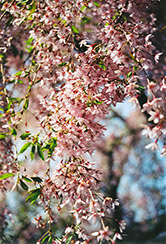 Pink Weeping Higan Cherry (Prunus subhirtella 'Pendula Rosea') at Hicks Nurseries
