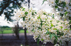 Snowdrift Flowering Crab (Malus 'Snowdrift') at Hicks Nurseries
