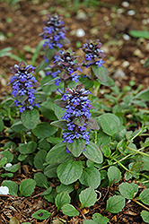 Caitlin's Giant Bugleweed (Ajuga reptans 'Caitlin's Giant') at Hicks Nurseries