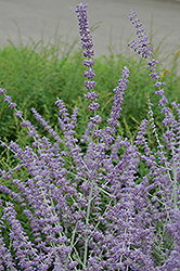 Russian Sage (Perovskia atriplicifolia) at Hicks Nurseries