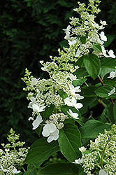Tardiva Hydrangea (Hydrangea paniculata 'Tardiva') at Hicks Nurseries