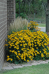Goldsturm Coneflower (Rudbeckia fulgida 'Goldsturm') at Hicks Nurseries