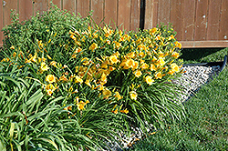 Stella D'Oro Daylily (Hemerocallis 'Stella D'Oro') at Hicks Nurseries