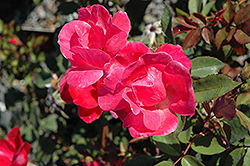 Pink Knock Out® Rose (Rosa 'Radcon') at Hicks Nurseries