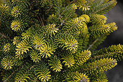 Golden Korean Fir (Abies koreana 'Aurea') at Hicks Nurseries