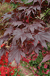 Bloodgood Japanese Maple (Acer palmatum 'Bloodgood') at Hicks Nurseries