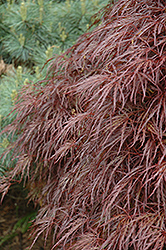 Red Select Cutleaf Japanese Maple (Acer palmatum 'Dissectum Red Select') at Hicks Nurseries