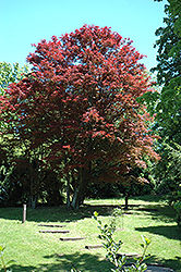 Purple-Leaf Japanese Maple (Acer palmatum 'Atropurpureum') at Hicks Nurseries