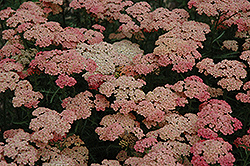 Apricot Delight Yarrow (Achillea millefolium 'Apricot Delight') at Hicks Nurseries