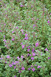 Rock Thyme (Acinos alpinus) at Hicks Nurseries
