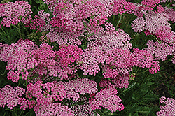 Pink Grapefruit Yarrow (Achillea 'Pink Grapefruit') at Hicks Nurseries