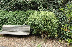 Common Boxwood (Buxus sempervirens) at Hicks Nurseries