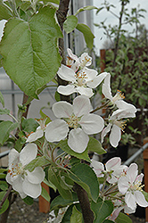 Gala Apple (Malus 'Gala') at Hicks Nurseries