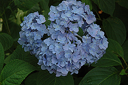 Nikko Blue Hydrangea (Hydrangea macrophylla 'Nikko Blue') at Hicks Nurseries
