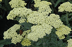 Anthea Yarrow (Achillea 'Anthea') at Hicks Nurseries