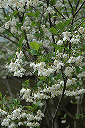Japanese Snowbell (Styrax japonicus) at Hicks Nurseries