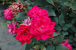 Red Double Knock Out Rose (Rosa 'Red Double Knock Out') at Hicks Nurseries