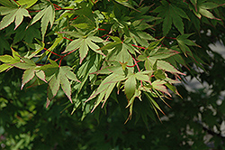 Tobiosho Japanese Maple (Acer palmatum 'Tobiosho') at Hicks Nurseries