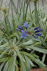 Gold Strike Agapanthus (Agapanthus 'Gold Strike') at Hicks Nurseries