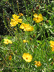 Lanceleaf Tickseed (Coreopsis lanceolata) at Hicks Nurseries