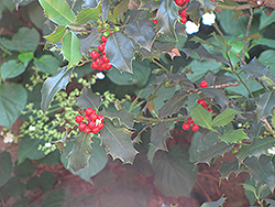 English Holly (Ilex aquifolium) at Hicks Nurseries