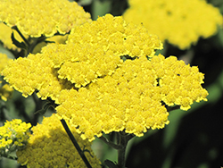 Moonshine Yarrow (Achillea 'Moonshine') at Hicks Nurseries