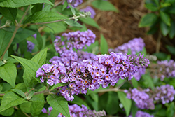 Lo And Behold® Blue Chip Dwarf Butterfly Bush (Buddleia 'Lo And Behold Blue Chip') at Hicks Nurseries