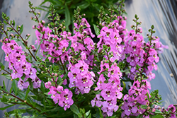 Archangel™ Pink Angelonia (Angelonia angustifolia 'Archangel Pink') at Hicks Nurseries