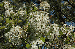 Cleveland Select Ornamental Pear (Pyrus calleryana 'Cleveland Select') at Hicks Nurseries