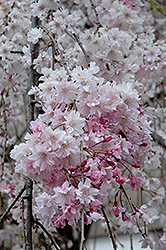 Double Pink Weeping Higan Cherry (Prunus subhirtella 'Pendula Plena Rosea') at Hicks Nurseries