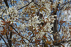 Autumn Brilliance Serviceberry (Amelanchier x grandiflora 'Autumn Brilliance (tree form)') at Hicks Nurseries