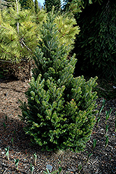 Pyramidalis Silver Fir (Abies alba 'Pyramidalis') at Hicks Nurseries