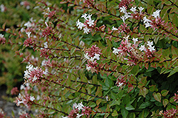 Rose Creek Abelia (Abelia x grandiflora 'Rose Creek') at Hicks Nurseries