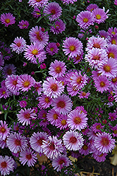 Purple Dome Aster (Aster novae-angliae 'Purple Dome') at Hicks Nurseries