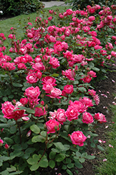 Double Knock Out® Rose (Rosa 'Radtko') at Hicks Nurseries