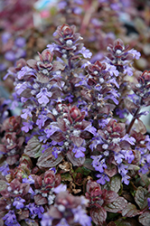 Bronze Beauty Bugleweed (Ajuga reptans 'Bronze Beauty') at Hicks Nurseries