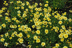 Galaxy Tickseed (Coreopsis 'Galaxy') at Hicks Nurseries