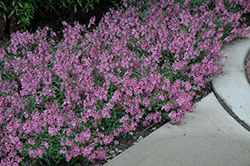 AngelMist® Spreading Pink Angelonia (Angelonia angustifolia 'AngelMist Spreading Pink') at Hicks Nurseries