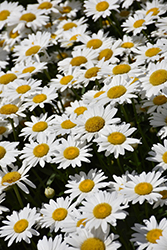 Becky Shasta Daisy (Leucanthemum x superbum 'Becky') at Hicks Nurseries
