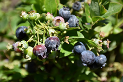 Jelly Bean® Blueberry (Vaccinium 'ZF06-179') at Hicks Nurseries