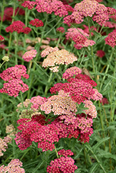 Angelique Yarrow (Achillea millefolium 'Angelique') at Hicks Nurseries