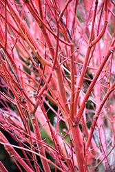 Coral Bark Japanese Maple (Acer palmatum 'Sango Kaku') at Hicks Nurseries