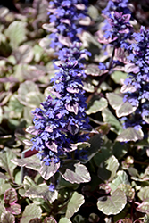 Burgundy Glow Bugleweed (Ajuga reptans 'Burgundy Glow') at Hicks Nurseries