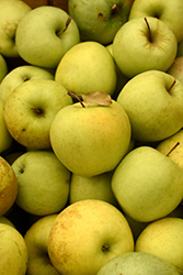 Golden Delicious Apple (Malus 'Golden Delicious') at Hicks Nurseries