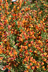 Lena Scotch Broom (Cytisus 'Lena') at Hicks Nurseries