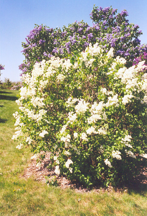 Primrose Lilac (Syringa vulgaris 'Primrose') at Hicks Nurseries