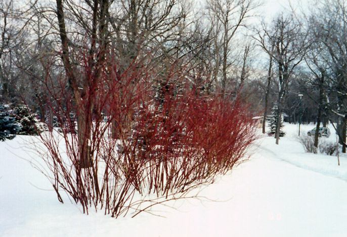 Tatarian Dogwood (Cornus alba) at Hicks Nurseries