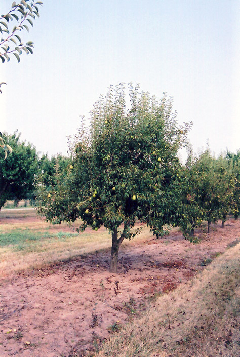 Bartlett Pear (Pyrus communis 'Bartlett') at Hicks Nurseries