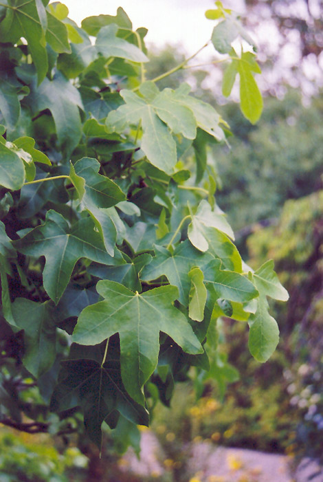 Round Leaf Sweet Gum Liquidambar Styraciflua Rotundiloba